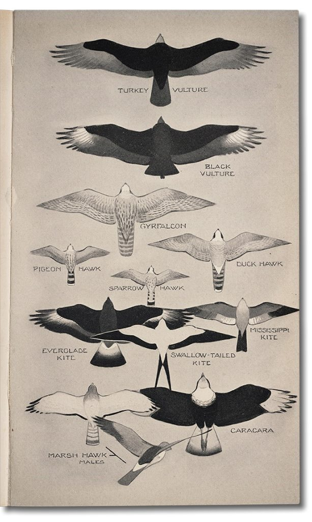 illustration depicting vultures and raptors flying above and a Marsh Hawk hovering over a field by Roger Tory Peterson