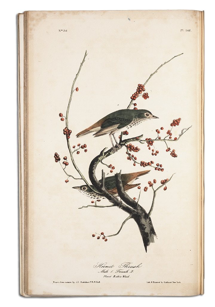 painting by John James Audubon of two Wood Thrushes, the female partially hidden by a tree branch