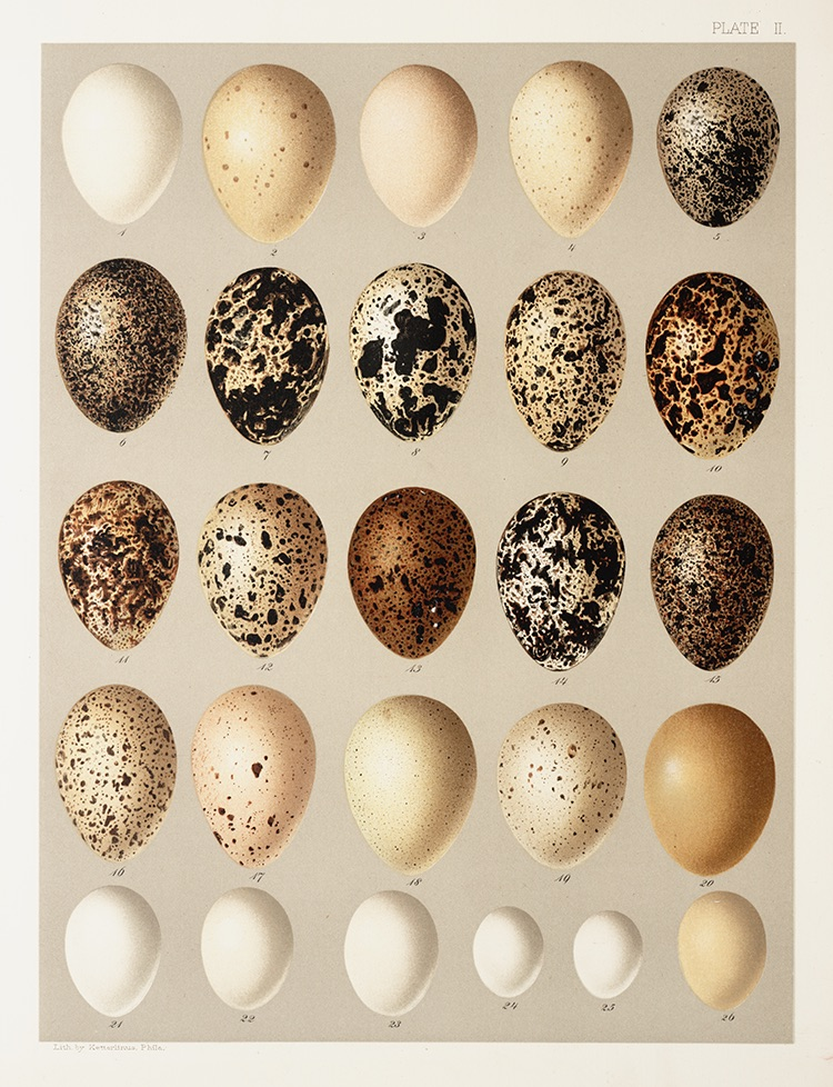 A plate of 14 species of grouse, ptarmigan, and dove eggs illustrated by John Ridgway
