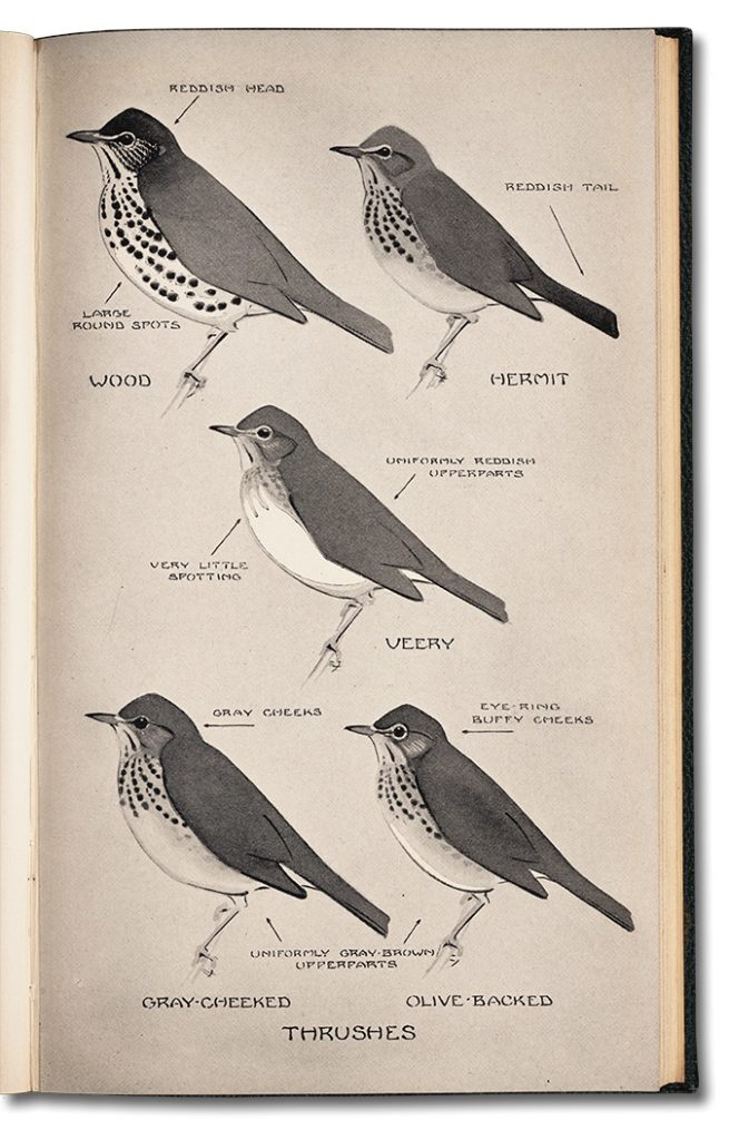 illustration of the variety of thrushes from the first edition of A Field Guide to the Birds by Peterson